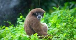 Gibbon Affe im Logan Bunut Nationalpark