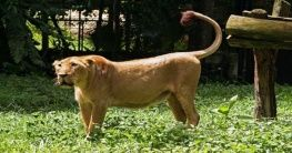 Löwin im Negara Zoo