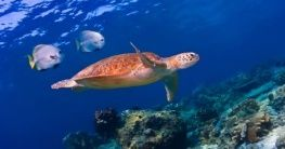 Schildkröte im Turtle Island Park