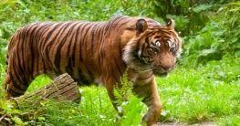 Sumatra Tiger im Endau Rompin Nationalpark